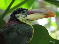 Curl crested aracari - very pretty bird