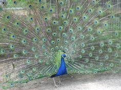 Someone told me I walked around like a peacock. . . It's nice when people recognize your feathers with out you having to show them.