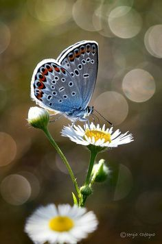Daisy and butterfly Butterfly Photos, Butterfly Flowers, Blue Butterfly, Beautiful Bugs, Beautiful Butterflies, Beautiful Flowers, Beautiful Creatures, Animals Beautiful, Types Of Butterflies