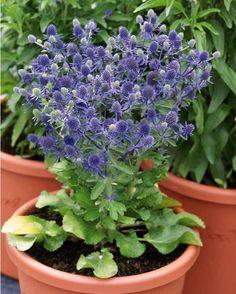 #Chardon bleu 'Petite merveille bleue'