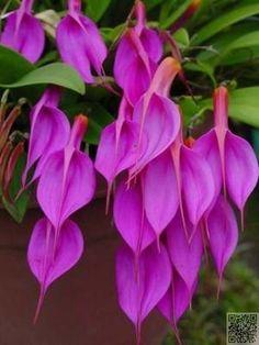 Masdevallia rosea
