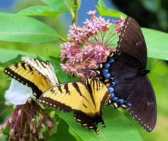 Butterflies on wildflowers in the North Carolina mountains along the Blue Ridge Parkway