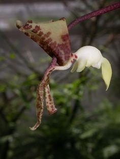 Gongora scaphephorus orchid
