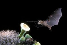 bat | ... Wildflowers - Pollinator of the Month - Lesser Long-Nosed Bat