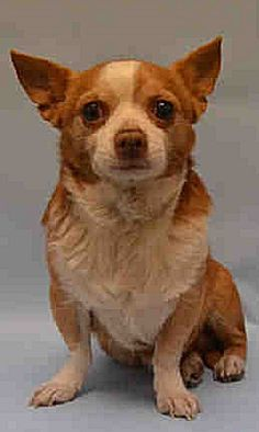 Staten Island SALMON – A1106085  MALE, BROWN / WHITE, CHIHUAHUA LH MIX, 4 yrs STRAY – STRAY WAIT, NO HOLD Reason STRAY Intake condition EXAM REQ Intake Date 03/11/2017  http://nycdogs.urgentpodr.org/salmon-a1106085/