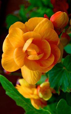 ✿ Orange Begonia