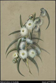 Rowan, Ellis, 1848-1922. Eucalyptus globulus Labill., Blue Gum or Eurabbie, family Myrtaceae, Tasmania [picture]