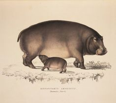Hippopotamus, by English naturalist Andrew Smith, 19th century.