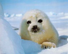 Baby Harp Seal Near a Snow Drift.