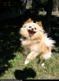 super-cute-pomeranian-flying