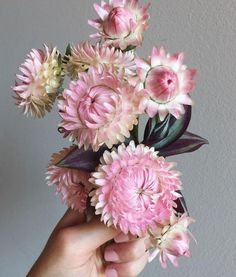 When your nails match your strawflowers. Australian Wildflowers, Australian Native Flowers, Australian Plants, Fall Flowers, Pretty Flowers, Dried Flowers, Cut Flower Garden, Flower Farm, Paper Daisy