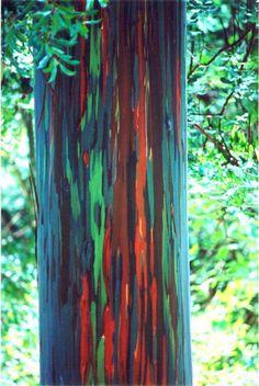 ALLPE Medio Ambiente Blog Medioambiente.org : Eucalipto arcoíris, el árbol con más colorido del mundo Rainbow Eucalyptist