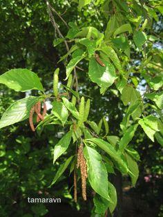 Всё о бегониях и не только...: Берёза Шмидта / берёза железная (Betula schmidtii)...