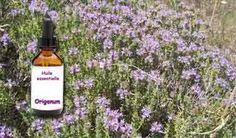 L'antibiotique du futur, l'huile essentielle d'Origan (Origanum vulgare)