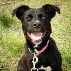 Carly* is an adoptable Retriever Dog in Cheyenne, WY. Outgoing, energetic, and fun loving are the perfect words to describe little Carly. Carly was surrendered to the shelter on May 22nd and is now pa...http://www.petfinder.com/petdetail/26211554