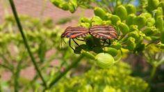 Zeldzaam insectje raakt gedetineerd in onze besloten achtertuin. De gevangeniswants.