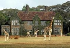 Giraffe Manor - we stayed at an amazing lodge next door to this while in Nairobe...and also had the giraffes in our back yard!
