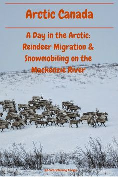 A Day in the Arctic: Reindeer Migration & Snowmobiling on the Mackenzie River // When we read about a reindeer migration in Arctic Canada, we knew we had to go to Inuvik. And we would follow them with the snowmobiles. The beginning of another Arctic adventure!