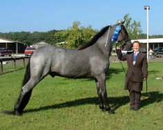 tennessee walking horse | Gait Haven - Registered Tennessee Walking Horse Sales