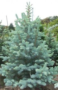 "Picea Glauca ""Fat Albert""  Dwarf Blue Spruce"