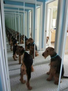 Infinite Airedales