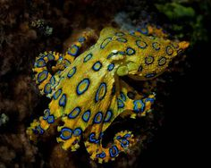All octopuses are venomous, but only this one--the small blue-ringed octopus--is capable of killing a human. -- 22 Octopus Facts That Are Definitely Worth Ogling Deadly Creatures, Ocean Creatures, Underwater Creatures, Octopus Facts, Octopus Octopus, Coconut Octopus, Octopus Species, Poisonous Animals, Cat Diary