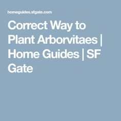 Correct Way to Plant Arborvitaes | Home Guides | SF Gate