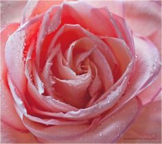 Don't you just love a freshly picked rose?  I can still smell it!!
