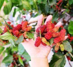 Incidența crescută a diabetului din ultimii ani ar trebui să ne pună pe gânduri, deoarece majoritatea dintre noi ingerăm foarte mult zahăr, carbohidrați și amidon, nu ca atare, ci din alimentele pe care le cumpărăm din magazine. Cool Plants, Metabolism, Good To Know, Herbalism, Health, Garden, Food, Pills, Medicine