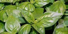 Bazalka není jen koření. Je to silný lék! Herb Garden, Home And Garden, Going Natural, Edible Flowers, Kraut, Korn, Spinach, Life Is Good, Detox