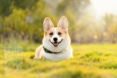 Corgi Dog, Dog Cat, Welsh Corgi Pembroke, Education Canine, Puppy Images, Free Dogs, Beautiful Dogs, Dogs And Puppies, Your Pet
