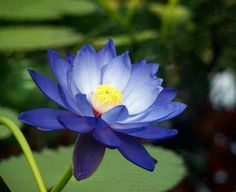 Lotus flower - love this shade of blue