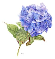 Rainy Day Blues — Limited Edition Print, Original & Greeting Card by Janie Pirie - Botantical Artist
