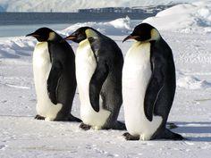 「emperor penguin keeping egg warm」の画像検索結果