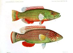 Animal - Fish - Red and green