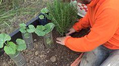 Como Plantar Romero En El Huerto Y Sus Cuidados
