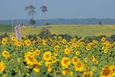 Tha-I-bun sunflower 4