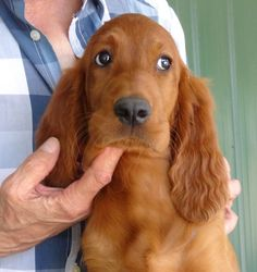 Irish Setter. G.Cleland. Some dogs really know how to 'use' those peepers! Pearl —