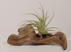 Sculptural Driftwood                                                       …