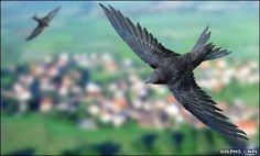 A common swift has taken the title as the fasted bird recorded in level flight.  The swift (Apus apus) can power itself to a speed of 111.6km/h (69.3mph) flying horizontally and even upwards.  Other birds, such as peregrine falcons, fly faster while diving in a stoop, but the swift is the fastest accurately recorded flying under its own power.  The birds reach top speed during bouts of mating known as 'screaming parties', say scientists.