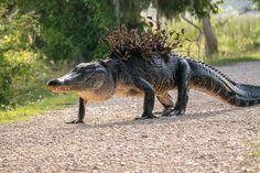 Alligator in Ghillie Suit