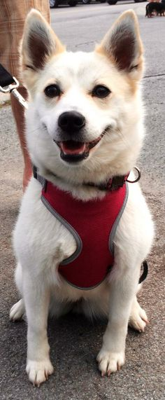 HEIDI SPYRI - I am such a sweet girl and I am very smart. It was said by a dog trainer  that I would make a great agility dog, so that would be something I would love to do.  I learn very fast. I am listed as an American Eskimo mix.. I am a very nice looking girl, if I do say so myself. I am about two years old. My foster mom and dad say that I am very loving and I am very gentle with my foster brother dog, who is about 9.