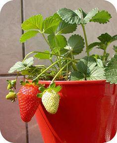 Aardbeien planten in pot of in de vollegrond. Zelf aardbeien kweken kun je ook op het balkon.