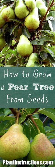 Learn how to grow a pear tree from seeds! Harvest seeds from a pear, and grow indoors until tree is strong enough to be planted outdoors. Fruit Plants, Fruit Garden, Garden Trees, Vegetable Garden, Tower Garden, Herbs Garden, Garden Fun, Garden Care, Small Garden Big Yield