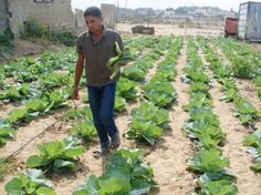 Gaza: Urban Gardens - Global Communities is supporting households in Gaza by helping them to plant urban gardens to improve their food security. This initiative is being conducted under the Palestinian Community Assistance Program (PCAP) in partnership with Mercy Corps and USAID. The overall goal of PCAP is to support economic recovery and development in Gaza through the creation of income generation and business development opportunities. Palestinian Food, Agricultural Development, Food Security, Households, Recovery, Goal, Gardens, Community, Urban