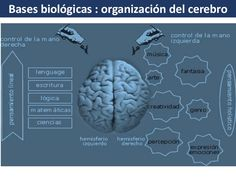 Bases biológicas : organización del cerebro  Funciones espaciales y sensoriales.  Domina la percepción, la conducta emocio...