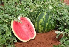Horta em casa - Como plantar melancia em casa