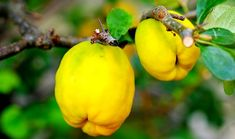 Growing Quince Trees, Health Benefits and Best Quince Recipes Quince Fruit, Quince Recipes, Increase Appetite, Organic Acid, Tea Cafe, Calcium Magnesium, Prunus, Healthy Fruits, Cold Drinks