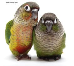 birdchannel:    Yellow-sided green-cheeked conure (left) and a green-cheeked conure