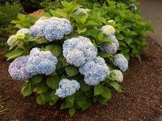 'Nikko Blue' Hydrangea